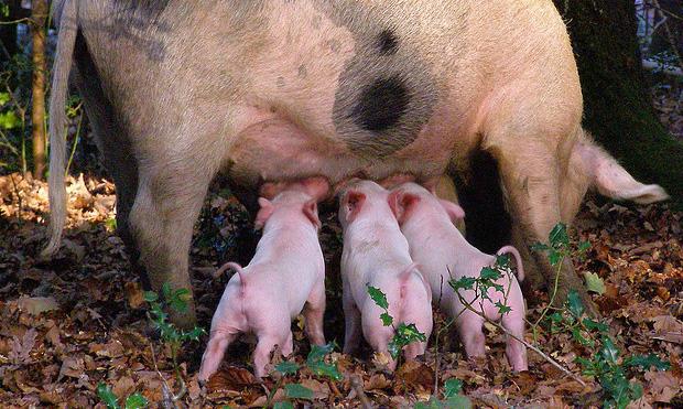schweine werden gesäugt