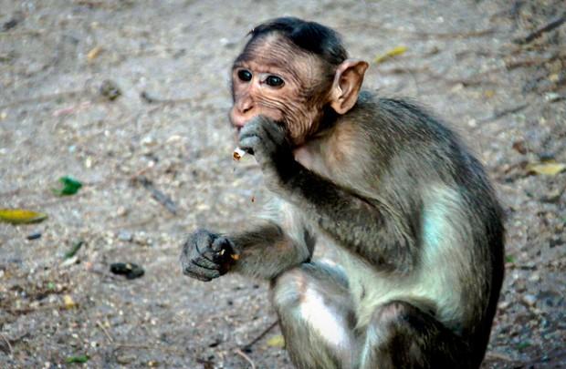 Rauchender Affe