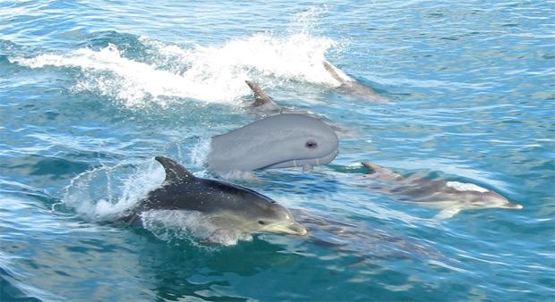 """Drohne """"Euro Delfin"""""""