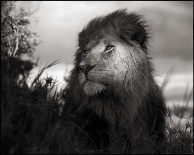 Lion in Shaft of Light