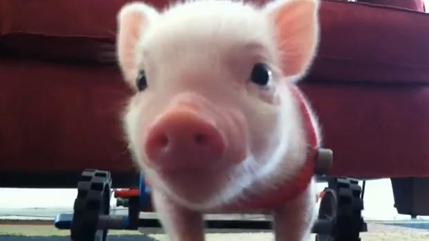 Schwein im Rollstuhl
