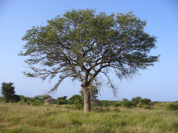 Elefantenbaum Marula Baum